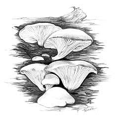Oyster Mushroom -- Click for larger image